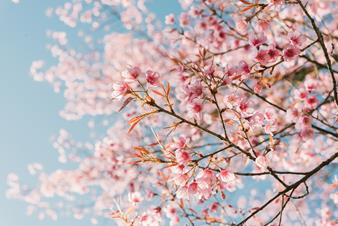 Pink cherry blossom flower against pale blue sky